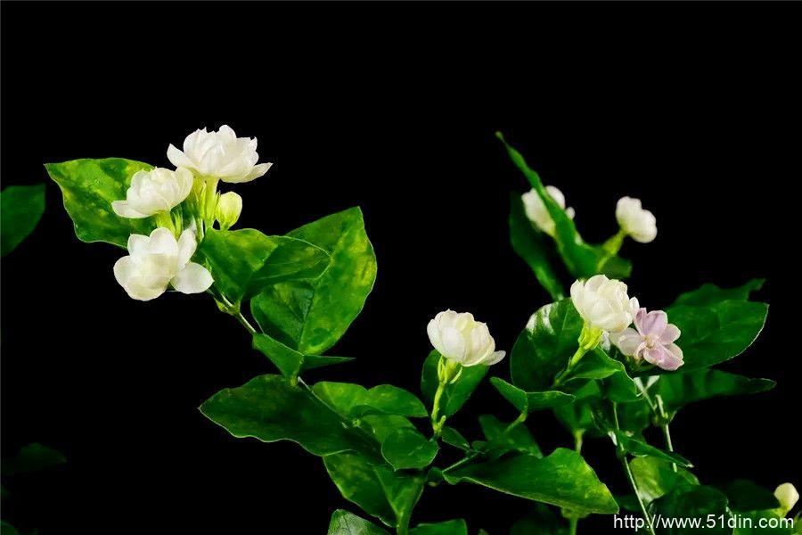 茉莉花茶的功效和作用-龙井茶