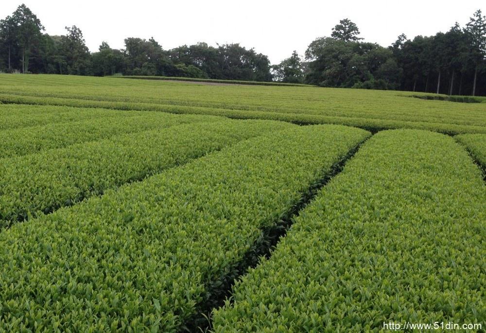 绿茶植物在日本静冈