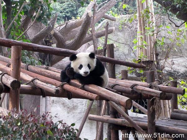 成都大熊猫繁育研究基地-龙井茶