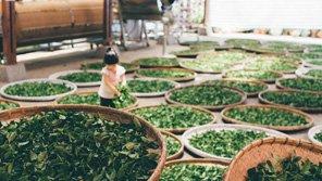 中国茶叶的历史和种类-龙井茶